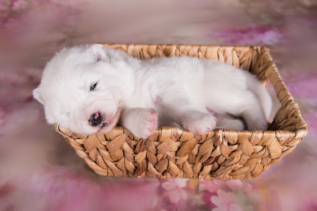 Petit chien chiot samoyède blanc moelleux à l'âge de deux semaines dans le panier