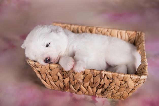 Petit chien chiot samoyède moelleux blanc dans un panier