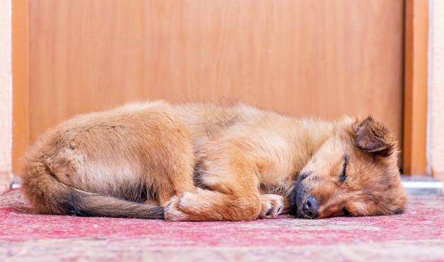 Petit chien dormant sous la porte de la chambre de son maître