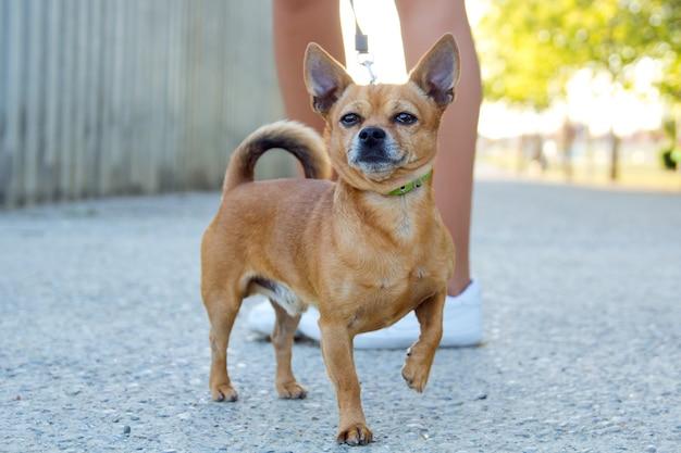 Petit chien avec du plomb dans la rue