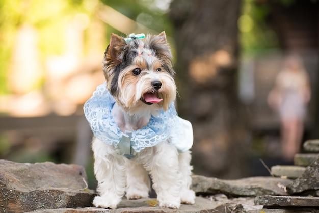 Petit chien en habits lors d'une promenade.