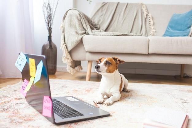 Petit chien à l'intérieur. pet à l'ordinateur portable. chien mignon ayant beaucoup de tâches humaines à faire. surchargé jack rassel terrier est occupé.