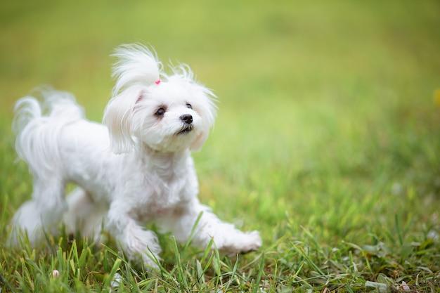 Petit chien maltais blanc sur l'herbe verte par une chaude journée