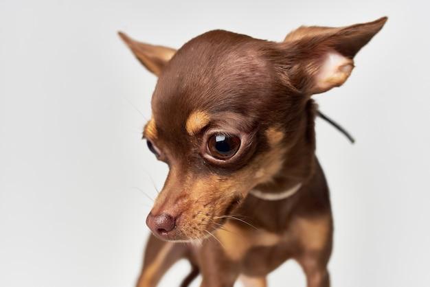 Petit chien mammifères ami de fond clair humain