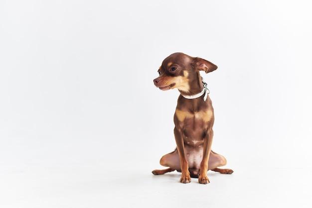 Petit chien mammifères ami de fond isolé humain. photo de haute qualité