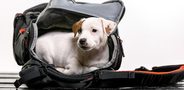 Petit chien mignon assis dans un sac noir et impatient - jack russell terrier