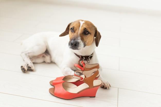 Le petit chien mignon jack russell terrier se trouve plaintivement à côté des chaussures rouges de sa maîtresse. le concept d'animaux de compagnie fidèles. espace publicitaire