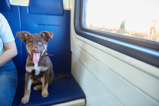 Le petit chien mignon regarde la caméra. le concept de voyager avec des animaux de compagnie dans un train de banlieue.