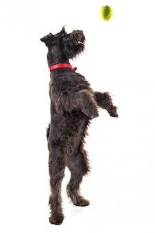 Petit chien noir avec une balle de tennis
