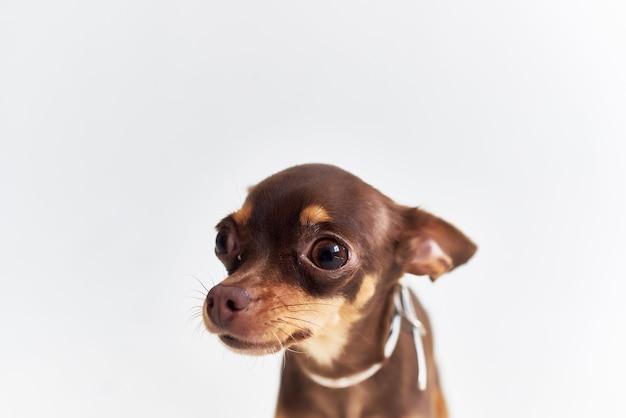 Petit chien pedigree look mignon fond clair
