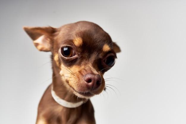 Petit chien posant fond isolé studio
