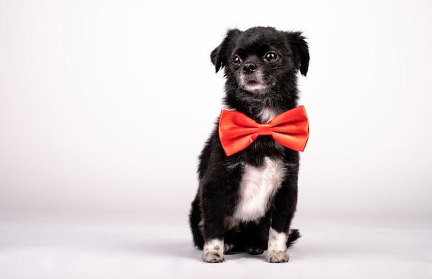 Petit chien posant avec un noeud papillon rouge