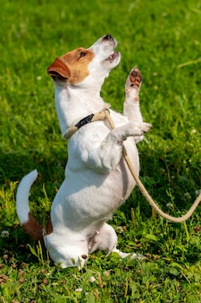 Un petit chien de race parson-russell terrier en laisse se dresse sur ses pattes arrière. chien dans le parc lors d'une promenade