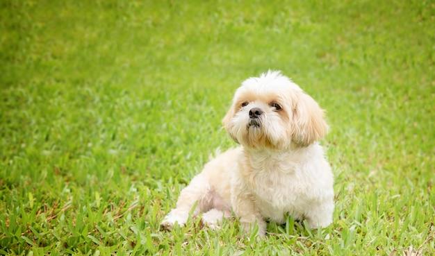 Petit chien de race shih tzu fourrure brune en pelouse verte.