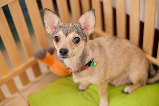 Petit chien shivava attente propriétaire venir à la cage de bois dans la maison, petit chien chiot