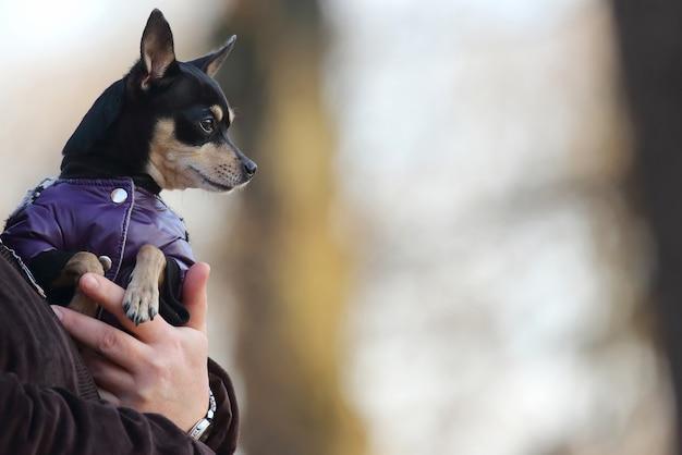 Petit chien vêtu d'une veste aux mains d'une personne