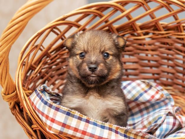Petit chiot brun assis dans un panier en osier