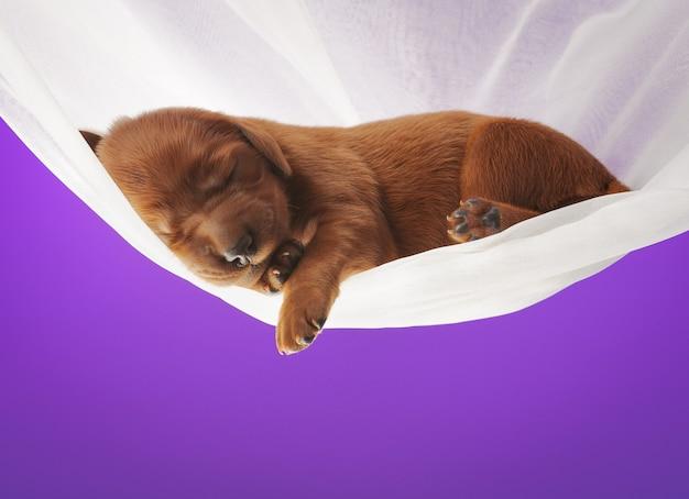 Petit chiot dormant sur un voile blanc sur fond de couleur lilas, studio, horizontal