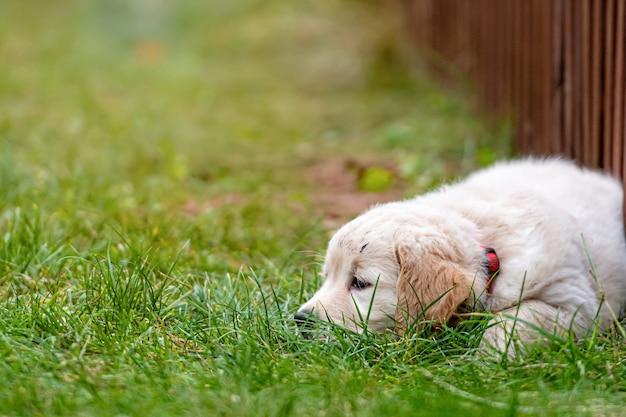 Petit chiot golden retriever est couché dans une herbe verte par la clôture dans la cour