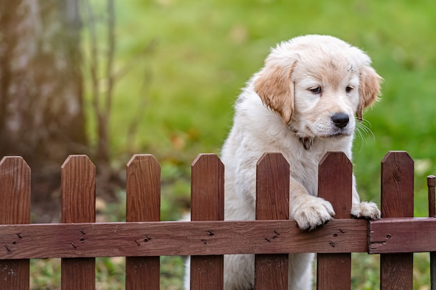 Petit chiot golden retriever regarde par-dessus la clôture de la cour