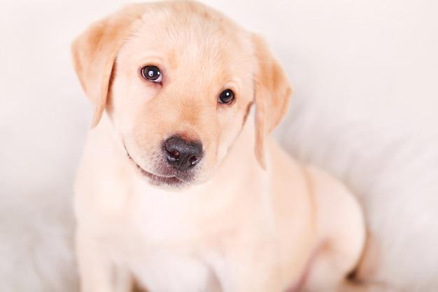 Un petit chiot labrador retriever blanc d'un mois sur blanc