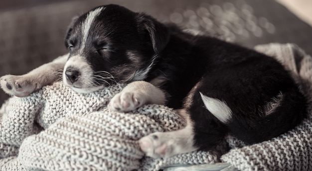 Petit chiot mignon couché avec un pull.