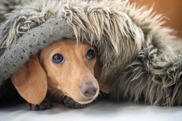 Un petit chiot mignon porte une couverture