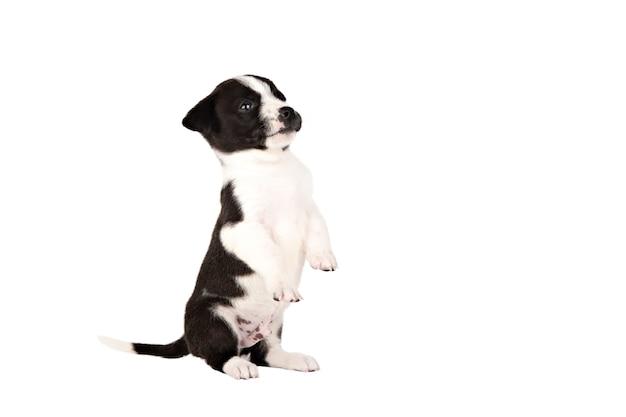 Petit chiot noir et blanc se dresse sur deux pattes isoler