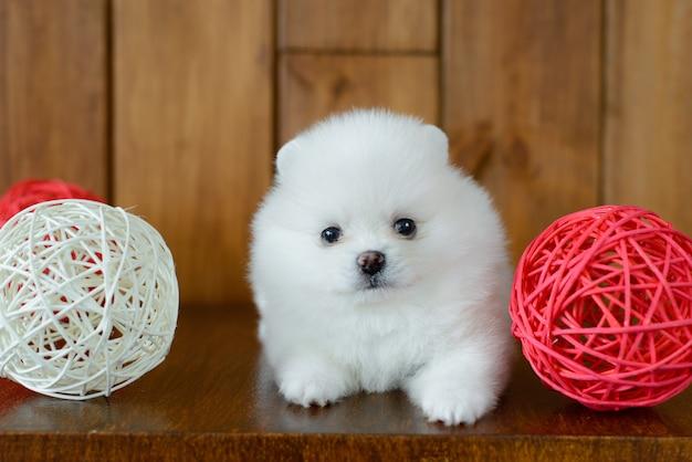 Petit chiot spitz-chien poméranien. il peut être utilisé comme arrière-plan