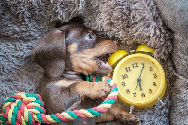 Petit chiot teckel drôle jouant avec un réveil vintage jaune