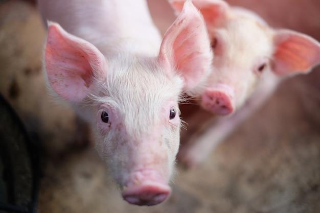 Un petit cochon dans la ferme. groupe de mammifères en attente d'alimentation