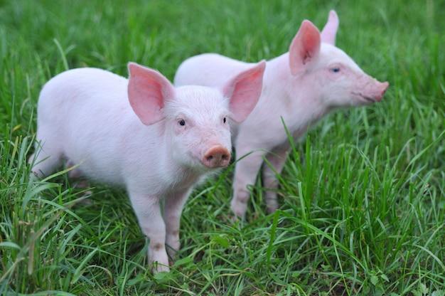 Petit cochon sur les herbes sur l'herbe
