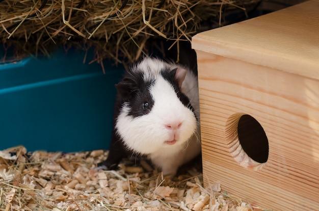 Petit cochon d'inde se trouve près de la maison en bois.
