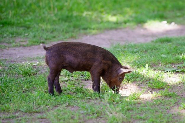 Petit cochon noir. mignon petit cochon noir marche sur une flaque d'eau, mange de l'herbe, amour de la nature, vega. cochon noir