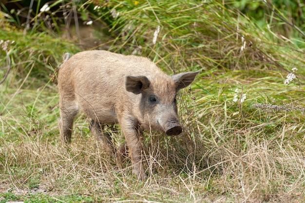Petit cochon sauvage dans la forêt. sale. cochon sauvage dans la forêt d'été