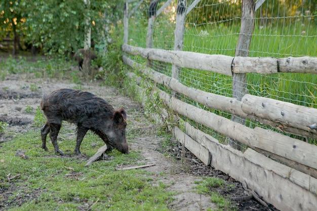 Petit cochon sauvage paissant avec contentement sur l'herbe.