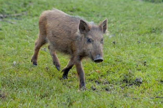Petit cochon sauvage paissant avec contentement sur l'herbe