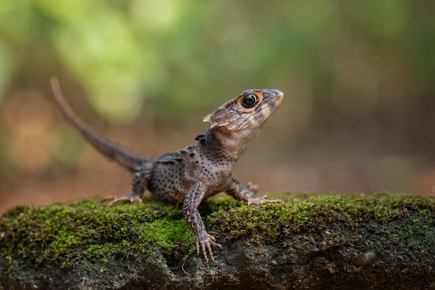 Petit dragon d'indonésie orientale, scinque crocodile