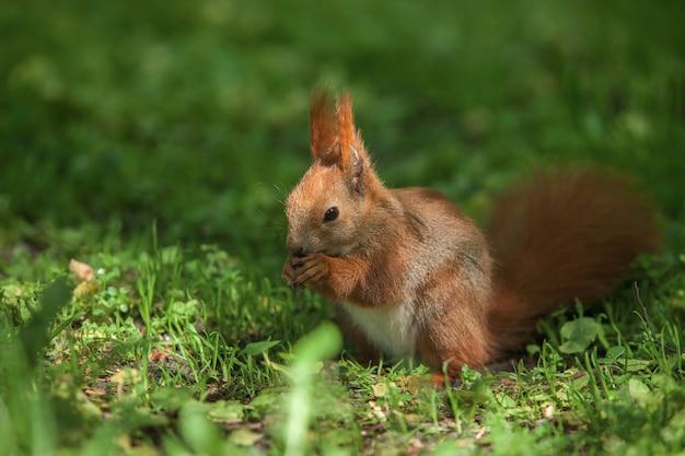 Petit écureuil roux drôle dans le parc sur l'herbe verte