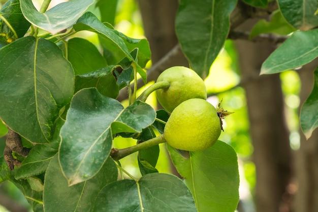 Le petit fruit vert d'un poirier pousse dans le jardin