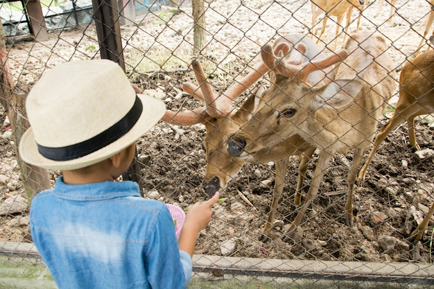 Petit garçon regarde et nourrit deer dans un zoo.