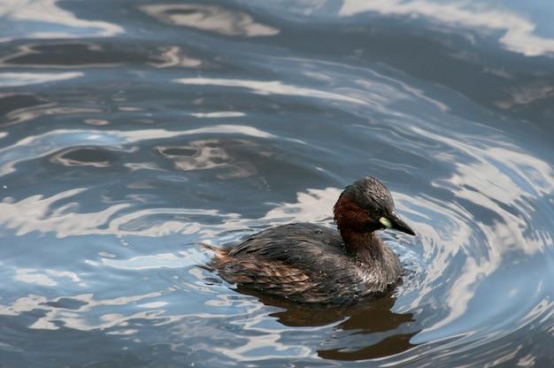 Un petit grèbe ou dabchick qui nage