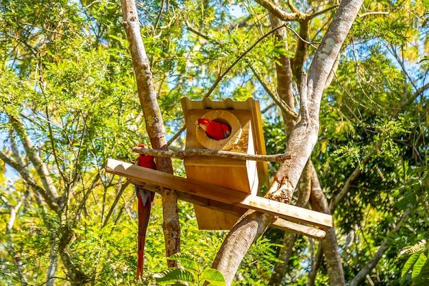 Un petit groupe d'aras à la cabane dans les arbres à copan ruinas au honduras