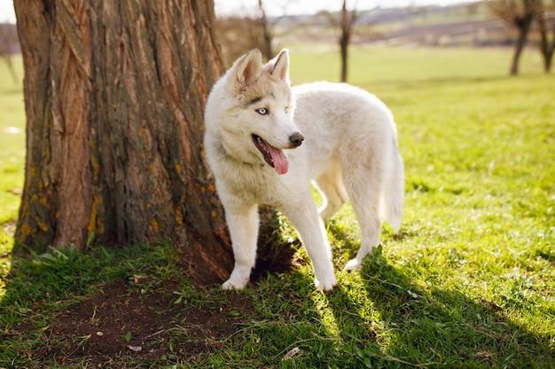 Petit husky blanc debout près d'un arbre