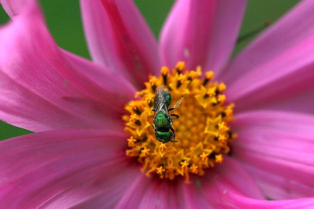 Petit insecte vert récoltant du pollen sur un pétale de fleur cosmos rose