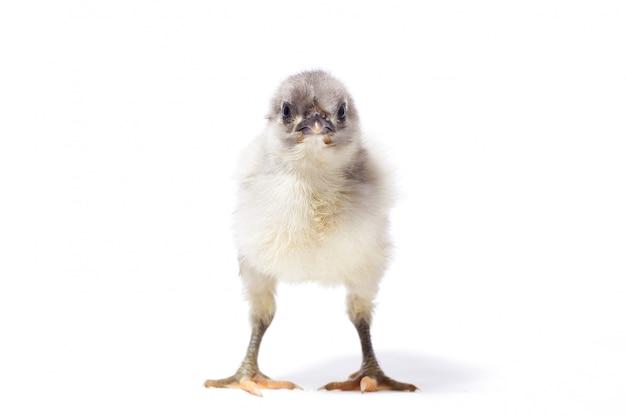 Petit isolat de poulet gris