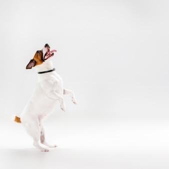 Petit jack russell terrier sur blanc