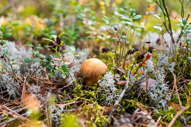 Un petit jeune champignon champignon pousse dans la forêt dans la mousse