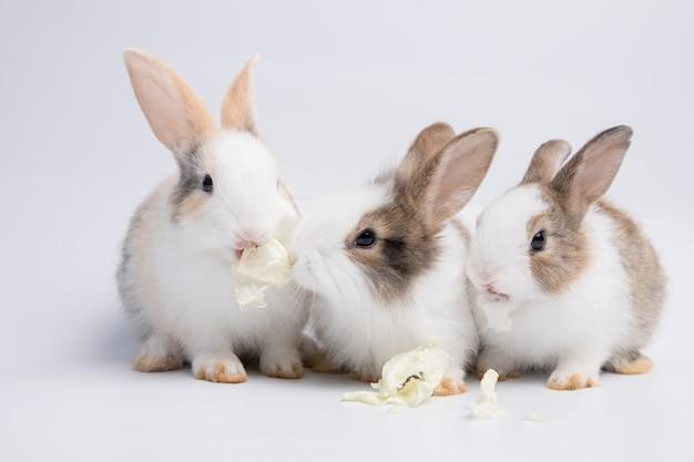 Petit lapin blanc et brun mangeant du chou sur fond blanc ou vieux rose isolé au studio ses petits mammifères dans la famille