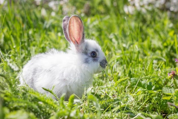 Petit lapin blanc moelleux sur l'herbe verte. lièvre sauvage sur un pré vert.
